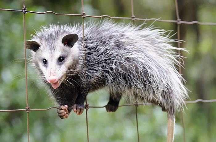 Funny Possum
