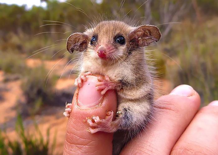Australian Western Pygmy Possum