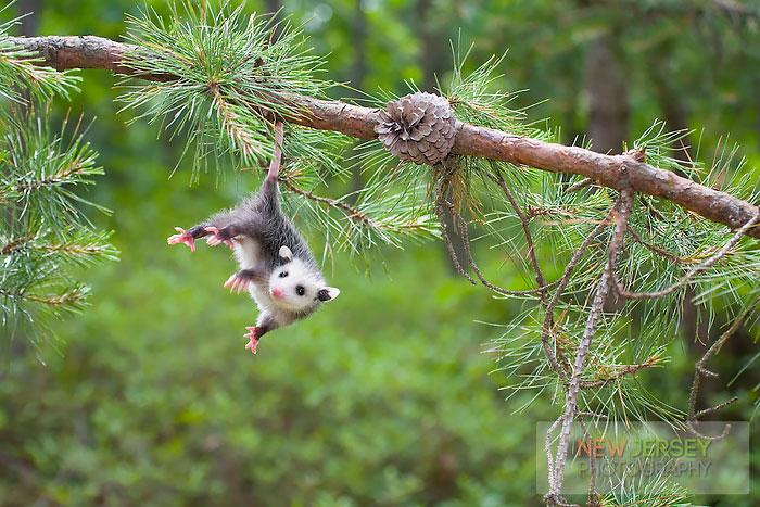 O Possum Score 15+ Awesome Possums An...