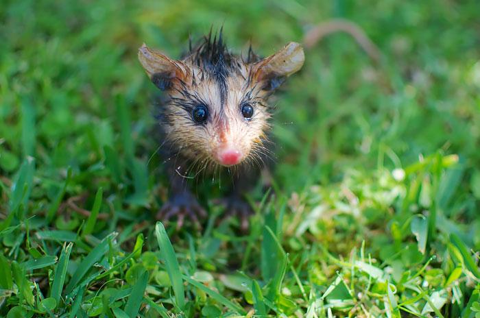 White-Eared Baby Opossum