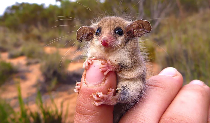 15+ Awesome Possums And Opossums