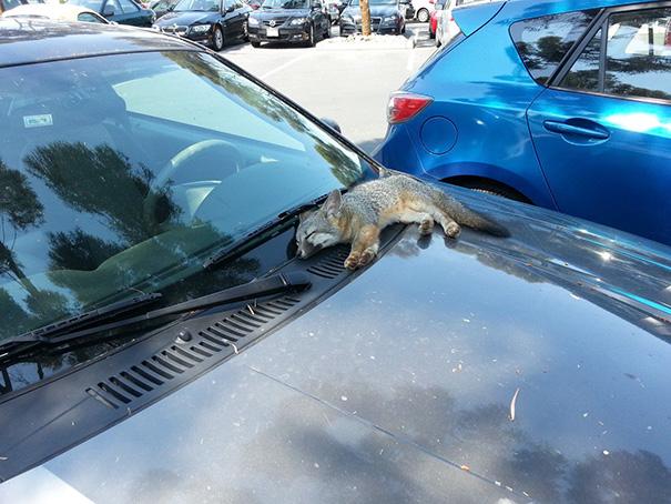 A Baby Fox Sleeping On A Car