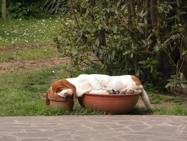 Asset Hound Sleeping In Flower Pots