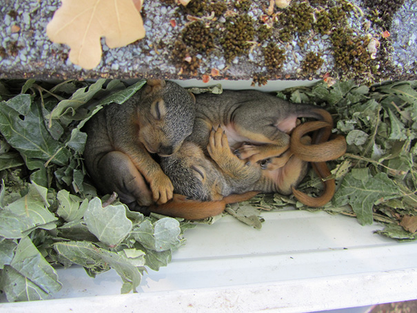Squirrel Nest And Babies In Rain Gutter
