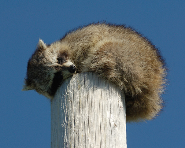 This Guy Was Sleeping On Top Of A 25 Foot High Pole On A Bare Headland