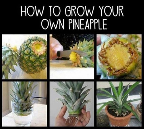 do not throw that pineapple top away make it grow bored panda. Black Bedroom Furniture Sets. Home Design Ideas