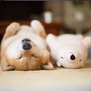 Shiba Inu Keeps Falling Asleep In Same Position As His Favorite Plush Toy