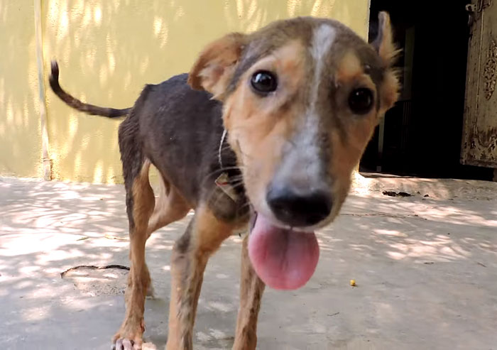 dying-puppy-wags-tail-animal-aid-unlimited-india-5