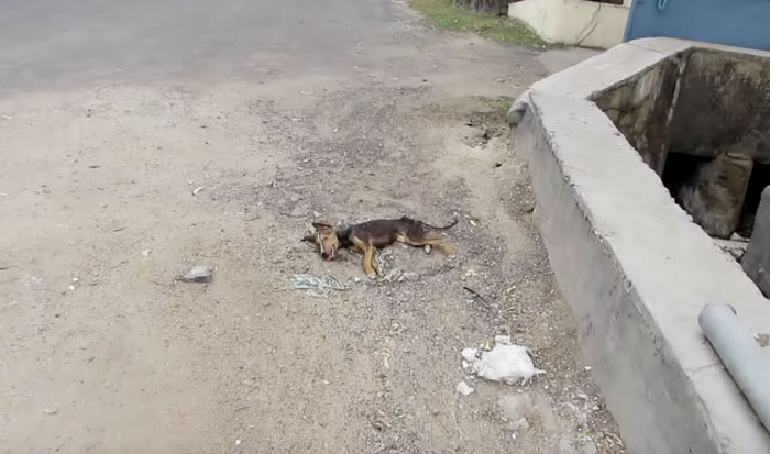 dying-puppy-wags-tail-animal-aid-unlimited-india-7