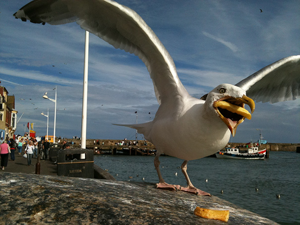 Seagull Trying To Eat A French Fry