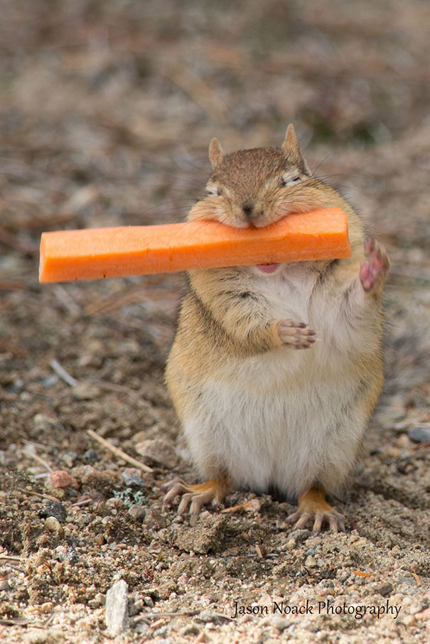 Extremely Happy Chipmunk With A Carrot