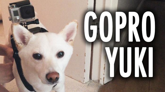 Gopro Shiba Inu!