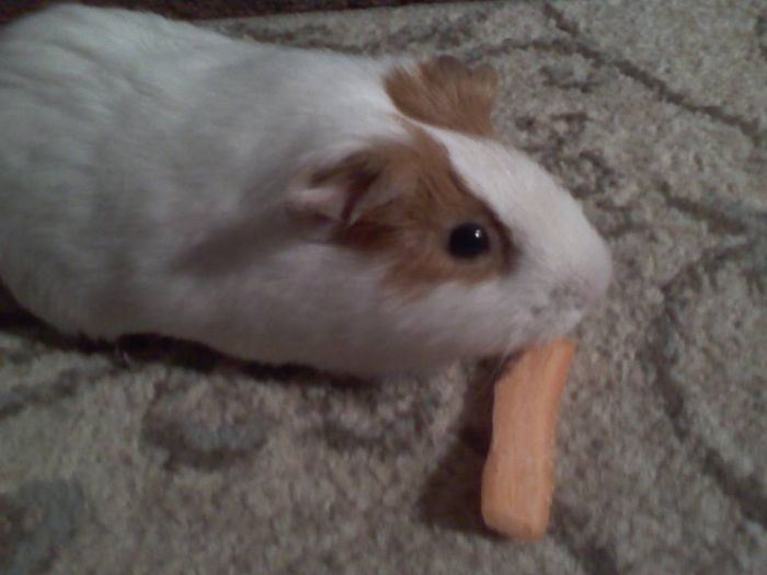 Guinea Pig Has To Eat…