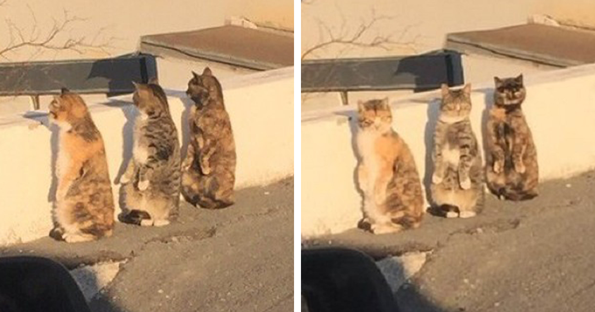 Cats Get Caught Pretending To Be Humans React