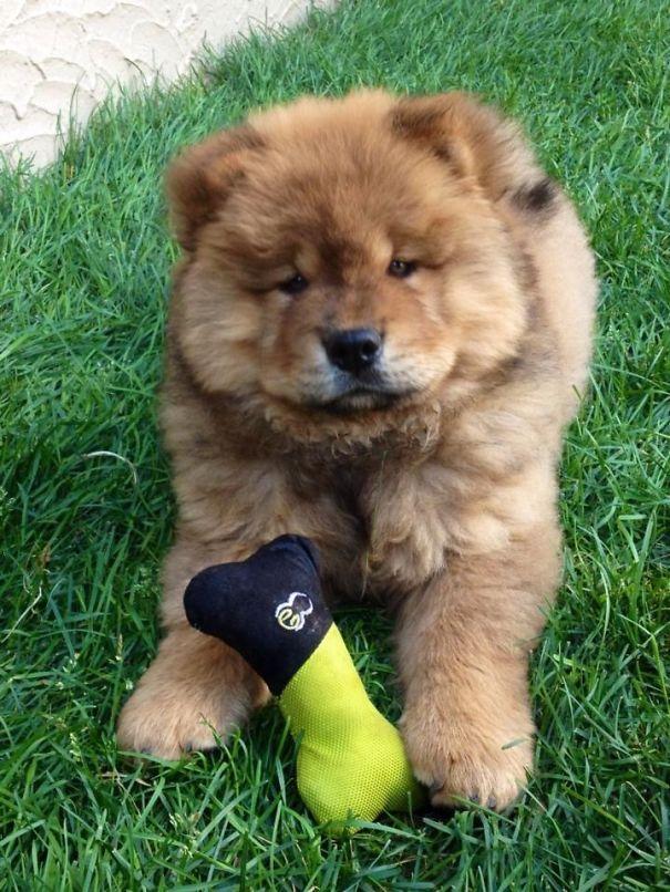Our Chow Chow, Koda Bear!