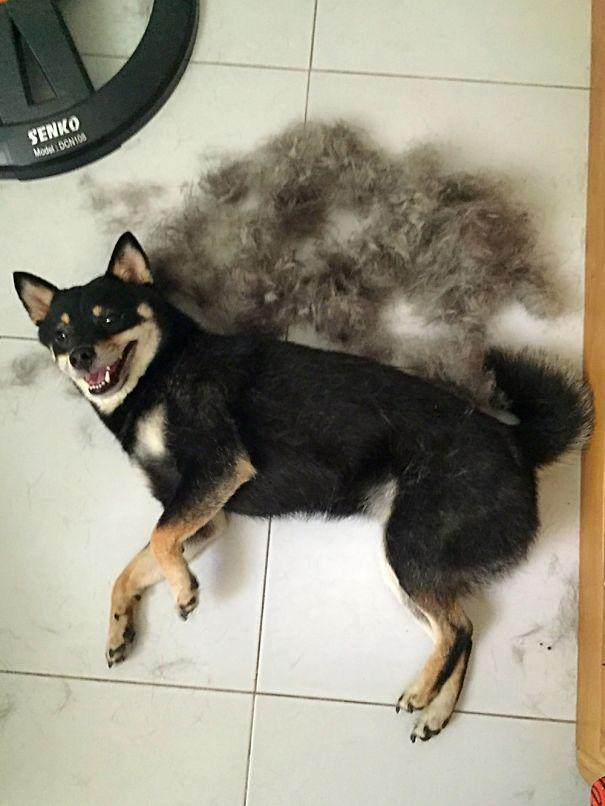 My Black Doge In Shedding Season