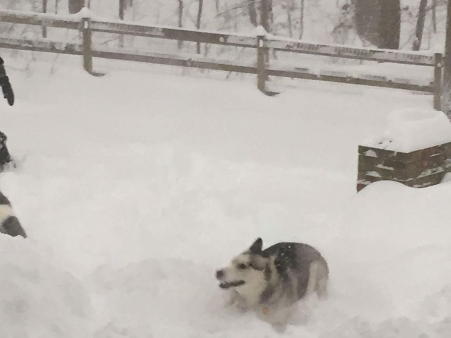 Husky Seeing Snow For First Time In Virginia