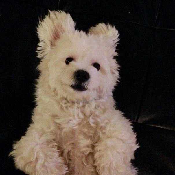 My Polar Bear Aka Maltese Puppy Named Milo