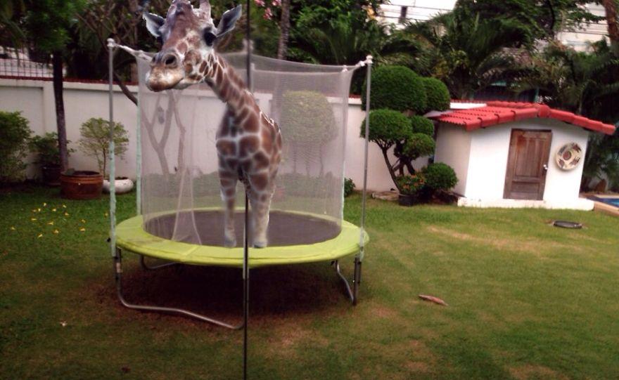 Giraffe In A Trampoline