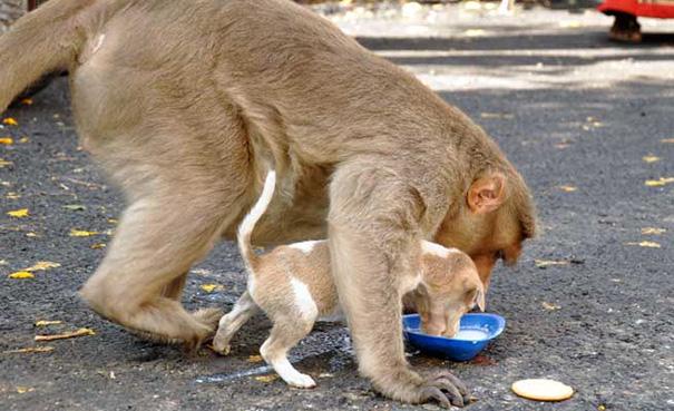 លទ្ធផលរូបភាពសម្រាប់ Kasih sayang monyet, anak anjing jadi perhatian media sosial