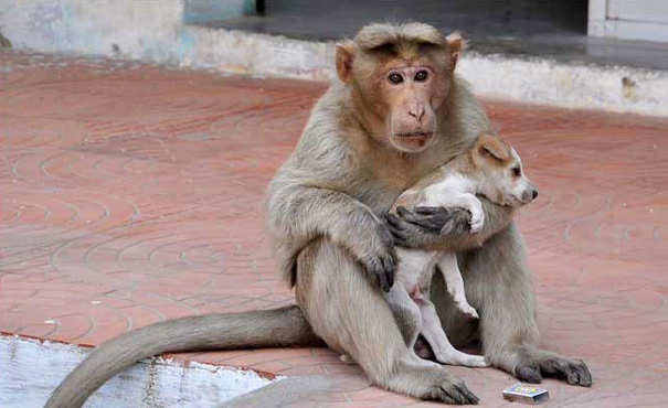 Monkey Adopts A Puppy, Defends It From Stray Dogs, And Lets