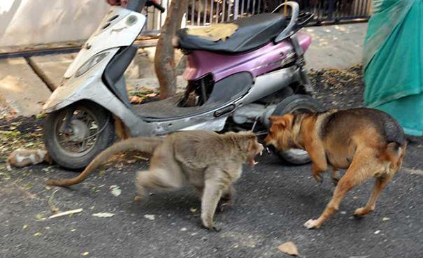 monkey-adopts-puppy-erode-india-5