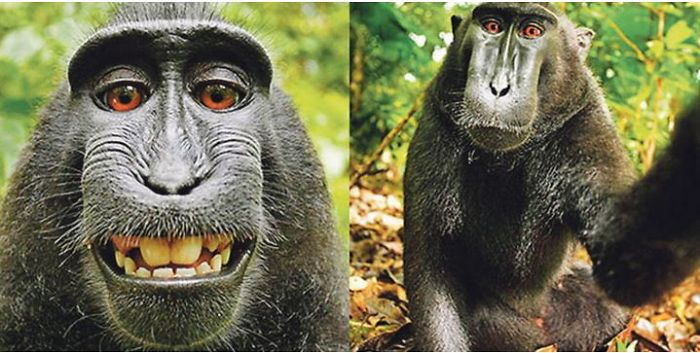 Monkey Made A 'selfie' – Lost His Copyright Case At Court!