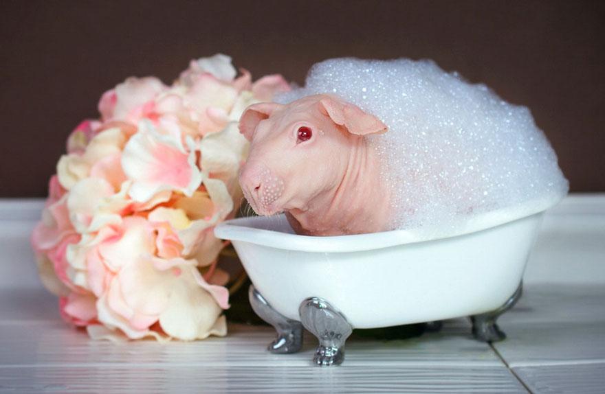 nude-guinea-pig-bath-time-erin-bonilla-12