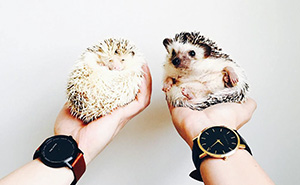 The Ordinary Lives Of Our Ordinary Hedgehogs