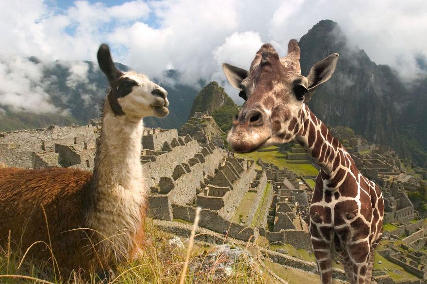 Giraffe Meets Llama At Machu Picchu