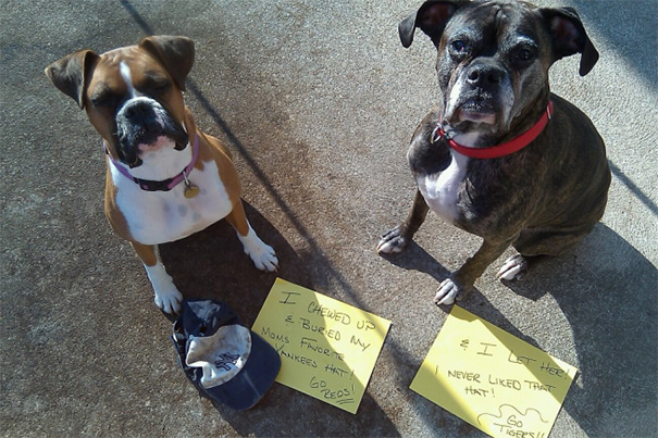 Chloe, 4 Year Old Boxer And Annabelle, 9 Year Boxer