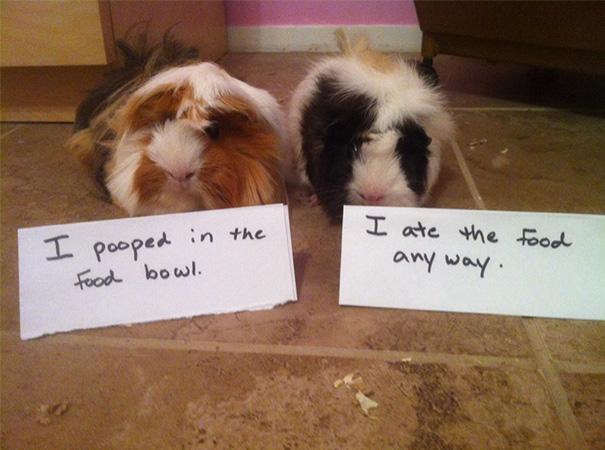 Pig Shaming