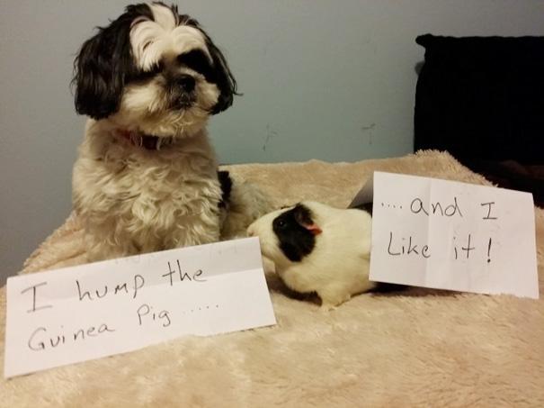 I Hump The Guinea Pig