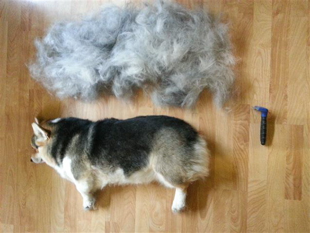 "Brushed Out My ""fluffy"" Corgi's Coat Today. Her Undercoat Defies Physics"
