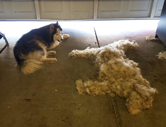 Brush A Husky, Get One Free