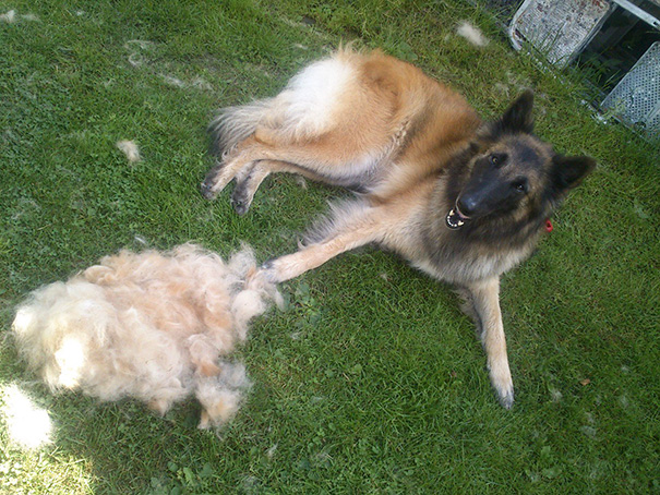 Izzy Was Shedding A Lot, So I Dicided To Give Her A Quick Brush