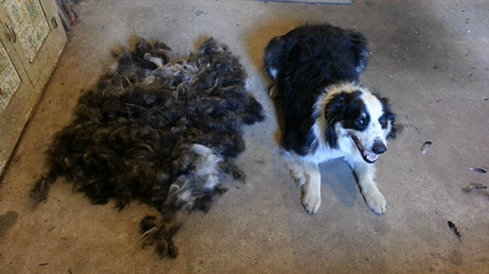 Complimentary Second English Shepherd Just Add Clippers And A Shedding Brush