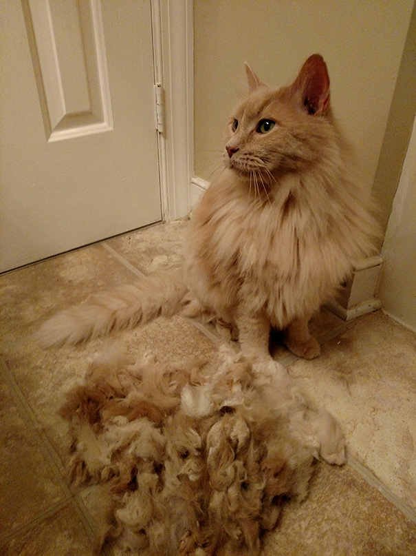 My Cat Has Super Fine Fur And Mats If We Don't Shave Him