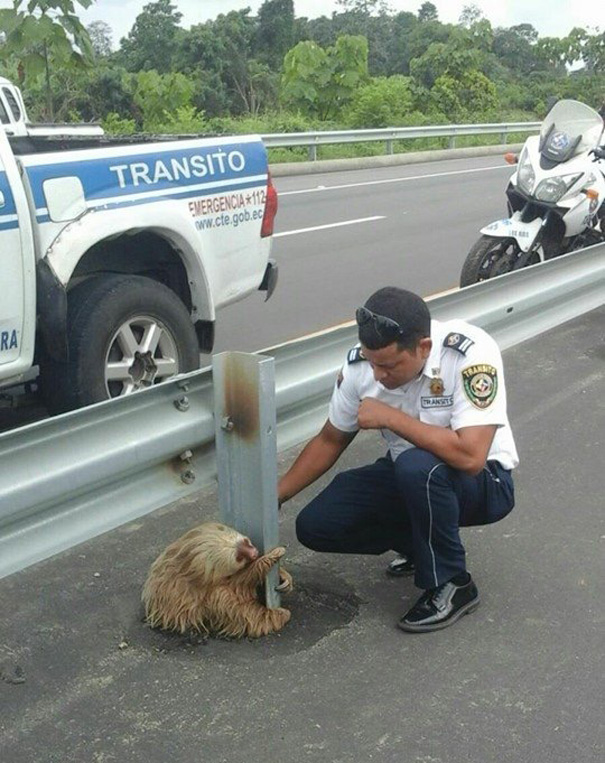 police-rescue-sloth-cross-highway-ecuador-5