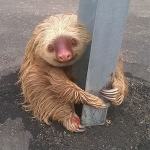 Cop Saves Tiny Terrified Sloth Stuck On A Highway