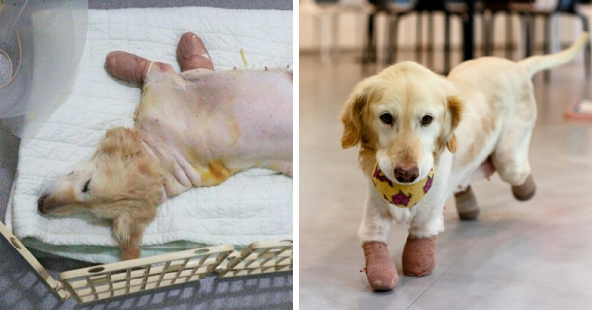 Puppy Who Lost All 4 Paws In Korean Meat Market Finally Gets Adopted