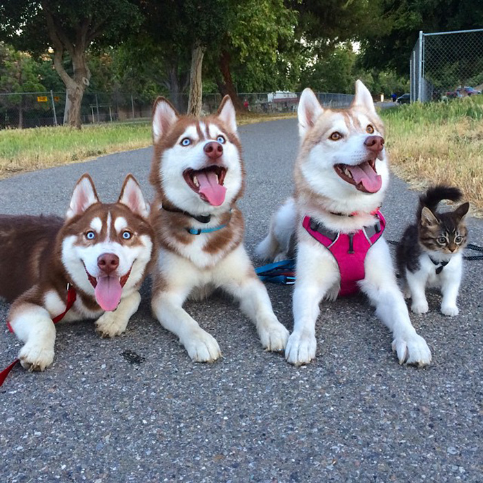 rosie-cat-grows-up-husky-mother-lilo-22