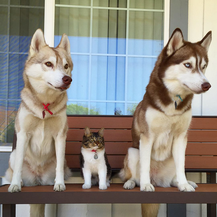 3 Huskies Become Best Friends With A Cat After Saving It