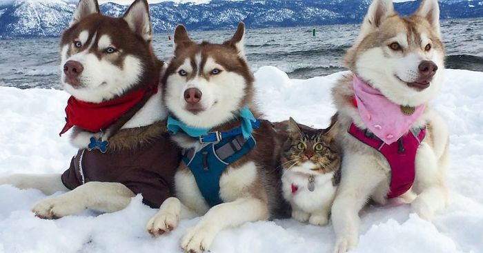 3 Huskies Become Best Friends With A Cat After Saving It From Dying