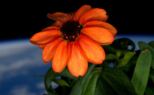 NASA Astronaut Grows The First Ever Flower in Space