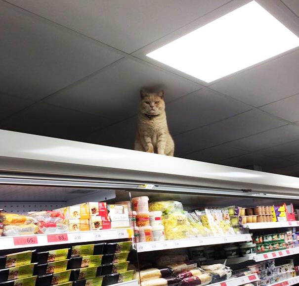 supermarket-sainsburys-cat-olly-oliver-brockley-london-15