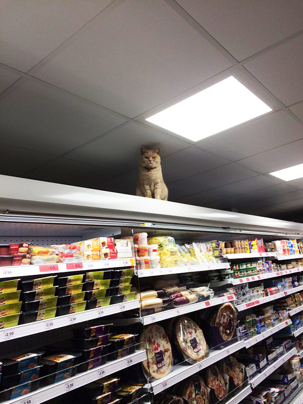 Badass Cat Proves Hes The True Owner Of This Supermarket In London