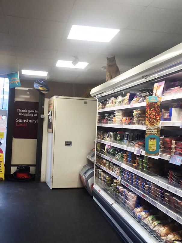 supermarket-sainsburys-cat-olly-oliver-brockley-london-8