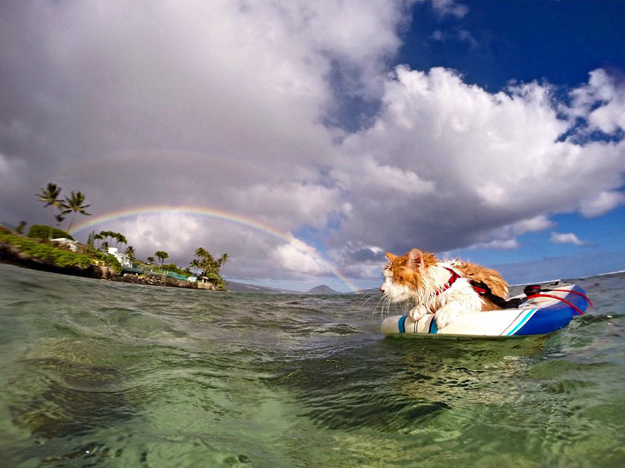 surfing-cat-likes-water-swimming-kuli-hawaii-9