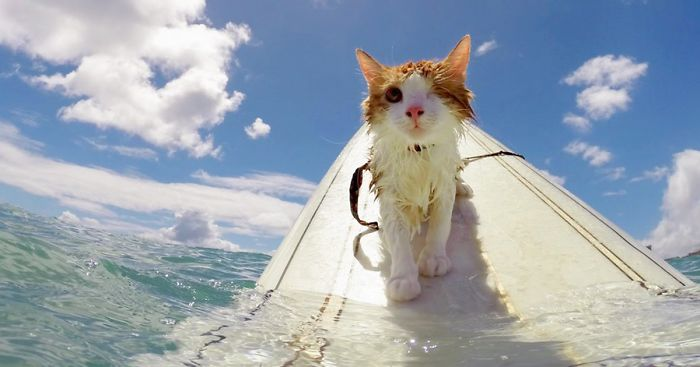 8334fe0eef Stunning One-Eyed Cat Who Loves Swimming And Surfing In Hawaii ...